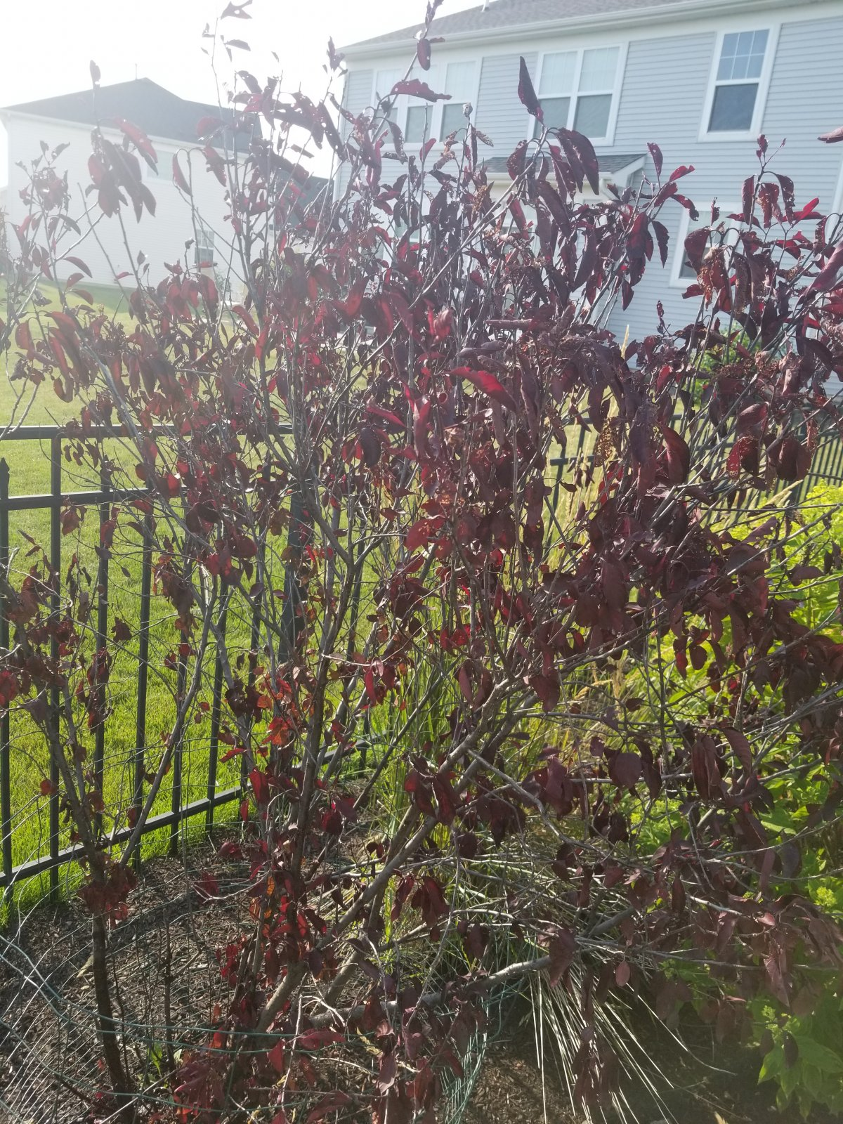 Purple Leaf Sand Cherry Is Dying Lawnsite Is The Largest And Most Active Online Forum Serving Green Industry Professionals
