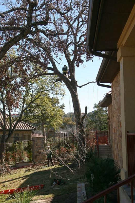 45' Dead Post Oak- That's me up in the tree.jpg