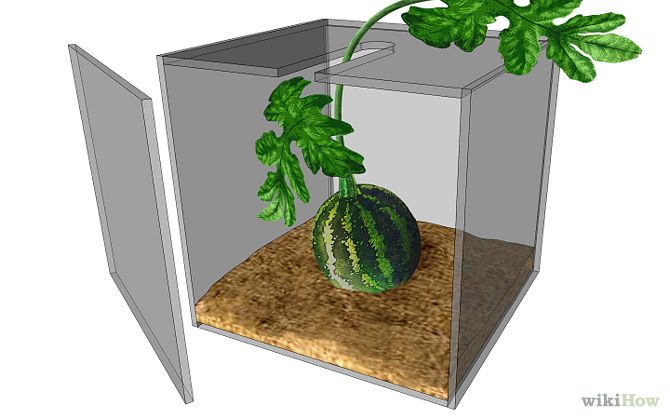 670px-Grow-a-Square-Watermelon-Step-3.jpg