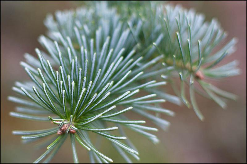 Alpine_Fir_600_B.jpg