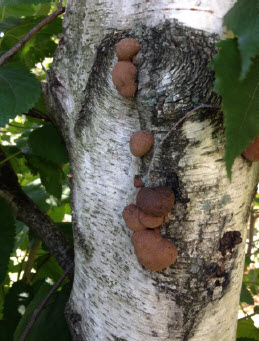 Birch Tree with Galls.jpg