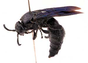 black_flower_wasp2.jpg
