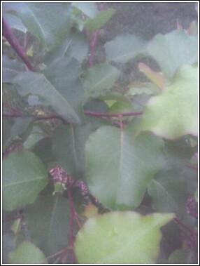 bradford leaves.jpg
