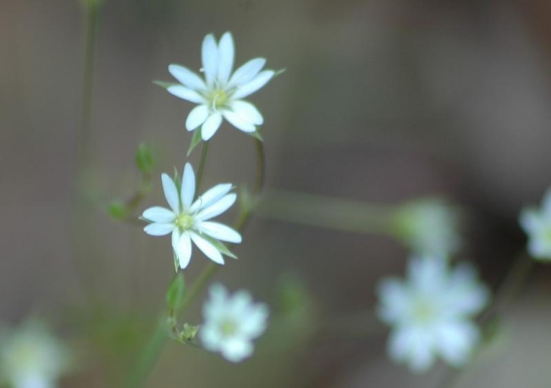 chikweed flower.jpg