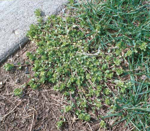 common%20chickweed%20plant.jpg