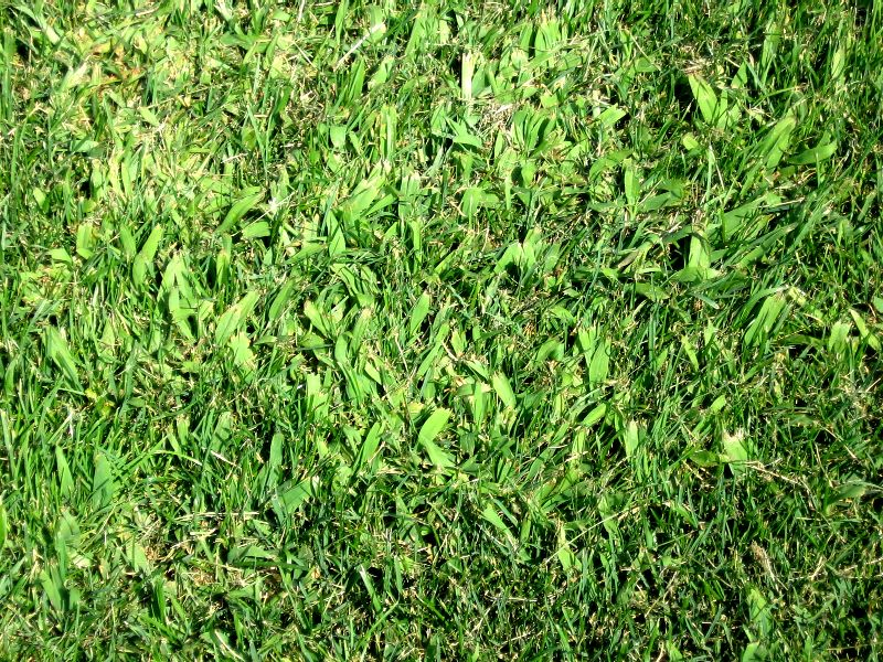 crabgrass 1 day after spray BHHS Aug 2013_low res.JPG