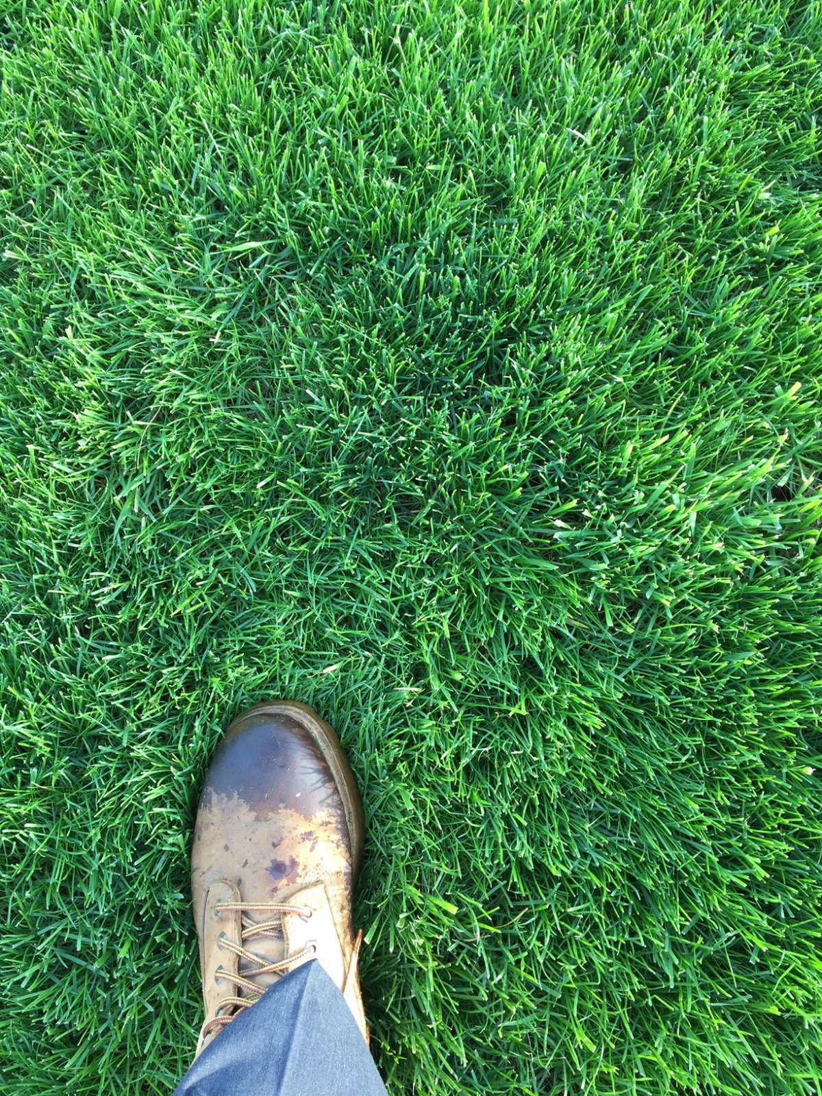 Crazy thick lawn May 2018.jpg
