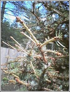 Damaged Blue Spruce.jpg