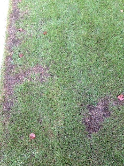 Darkening Grass Spots2.JPG