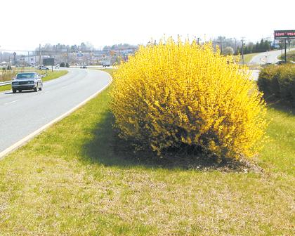 Forsythia in bloom.jpg