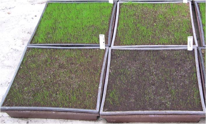 germination-- SG on left, control on right.jpg