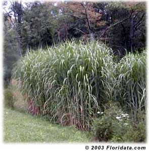 Giant Maiden Grass2.jpg