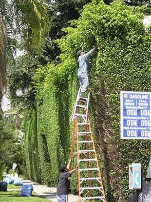 hedge trimming.jpg