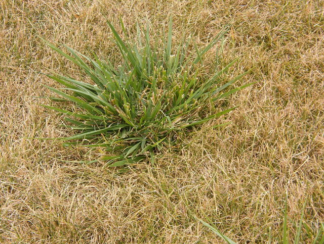 im0008491.weed grass.png