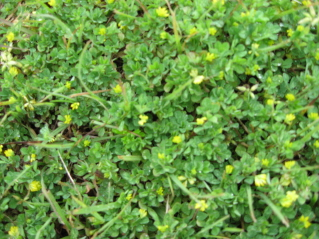 What is this weed treatment lawnsite it is about 15 2 right now grows very dense almost looks like very small clover with small yellow flowers it is taking over a centipede lawn mightylinksfo