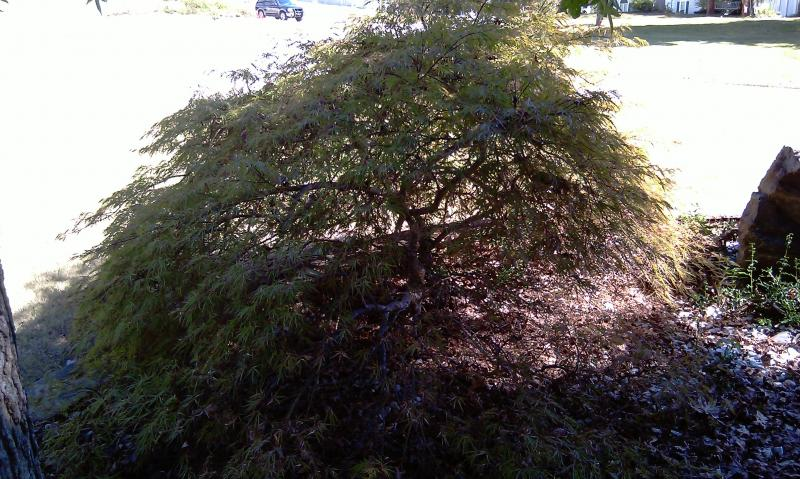 Japanese Maples 009.jpg