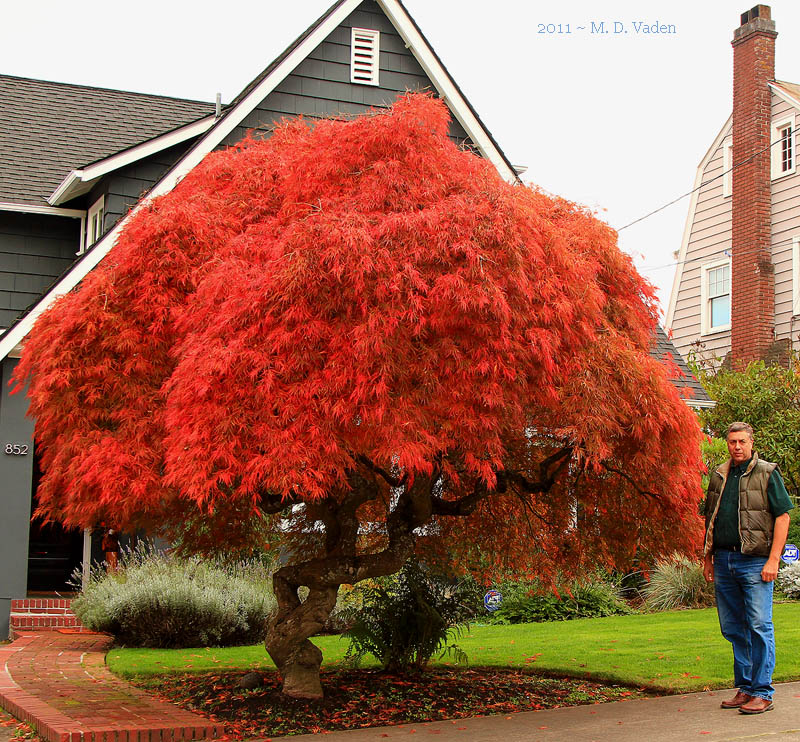 Japanese_Maple_Fall_Color_800.jpg