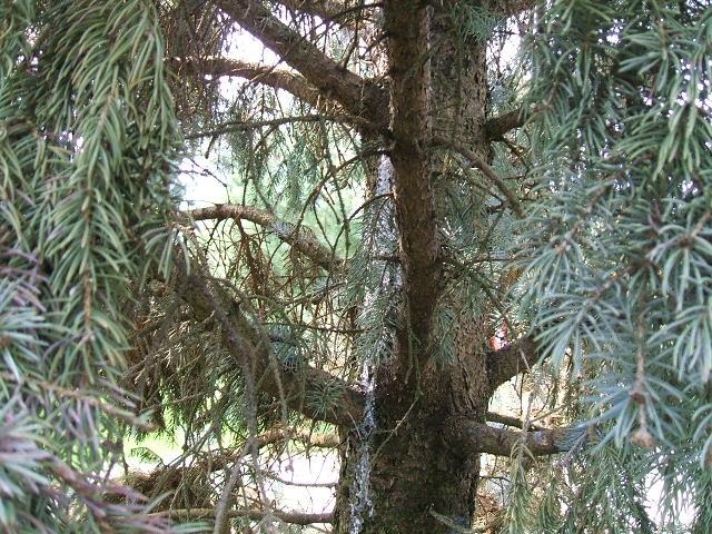 Jay Tree 002.jpg