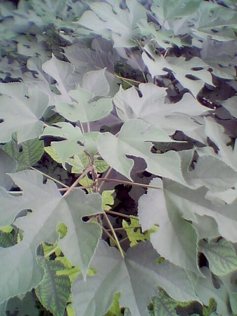 leaves from saplings.jpg