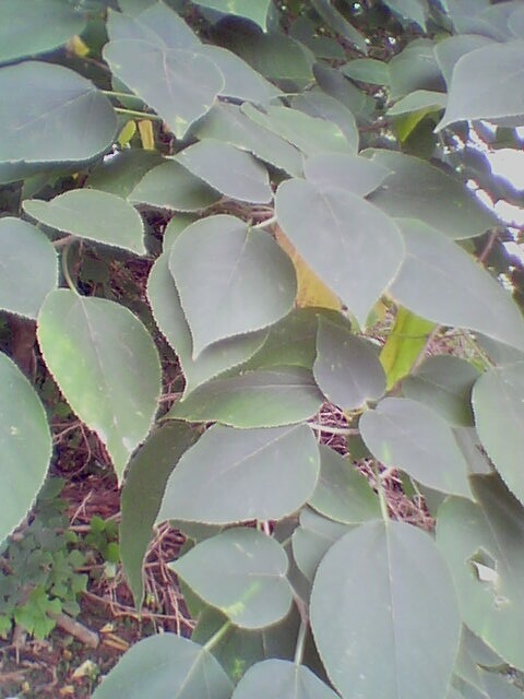 leaves on mature tree.jpg