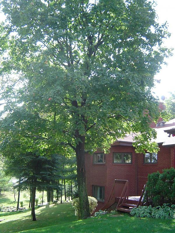 Maple beside house.jpg