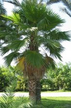 mexican-fan-palm.jpg