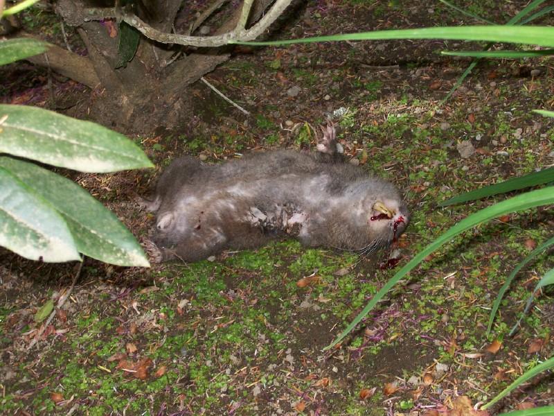 Mountain beaver 1.jpg