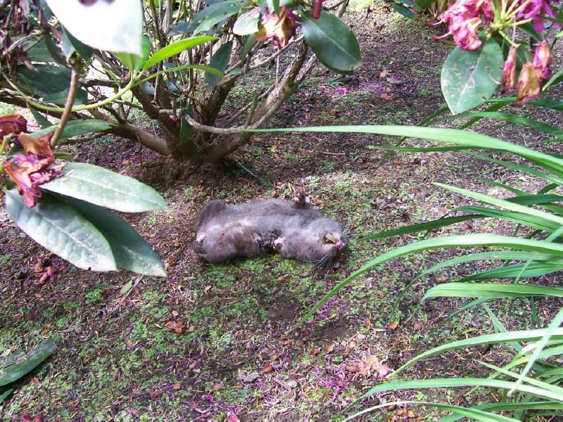 Mountain beaver.jpg