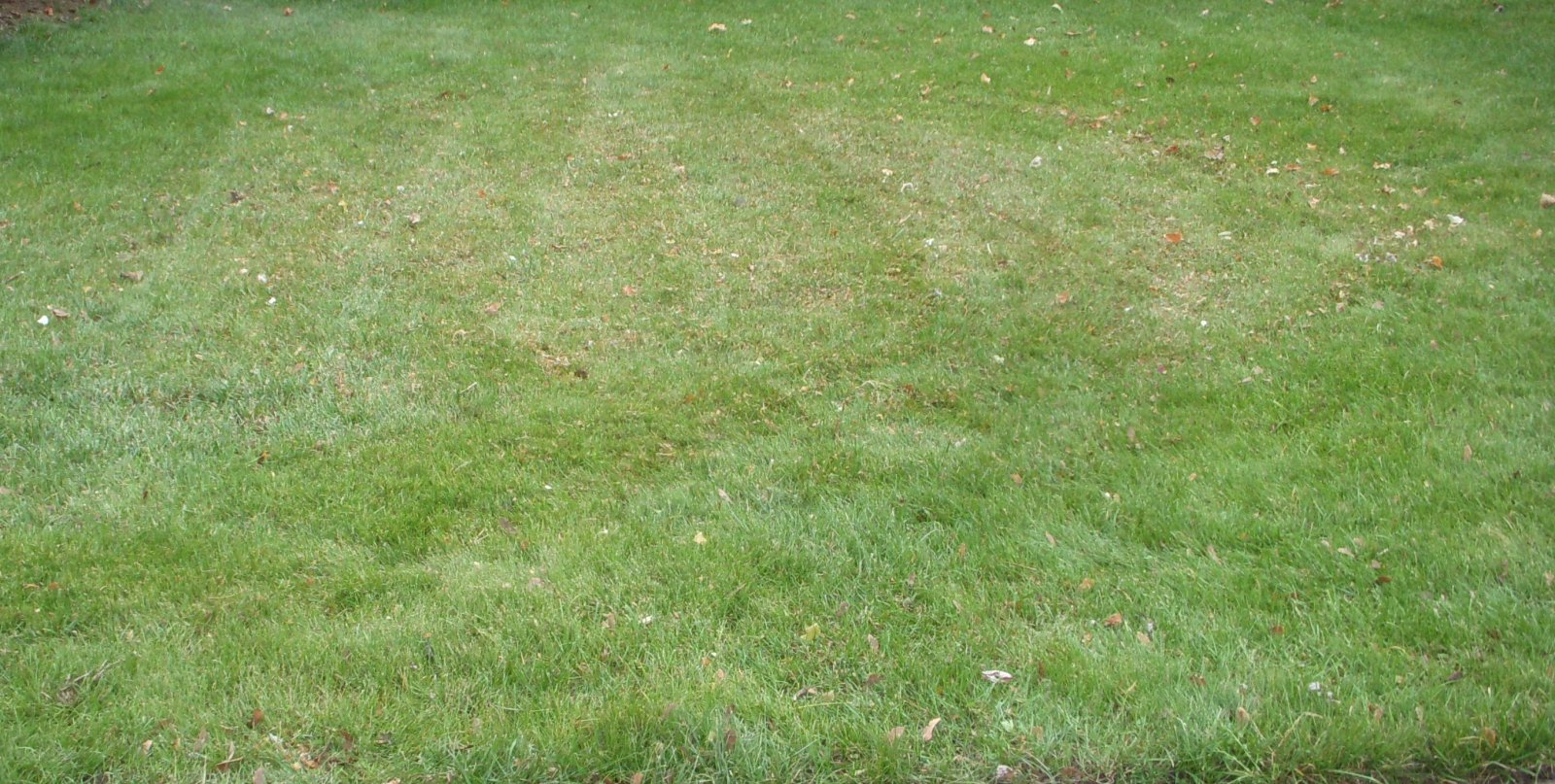 mulch shred leaves on new young grass lawn (2).JPG