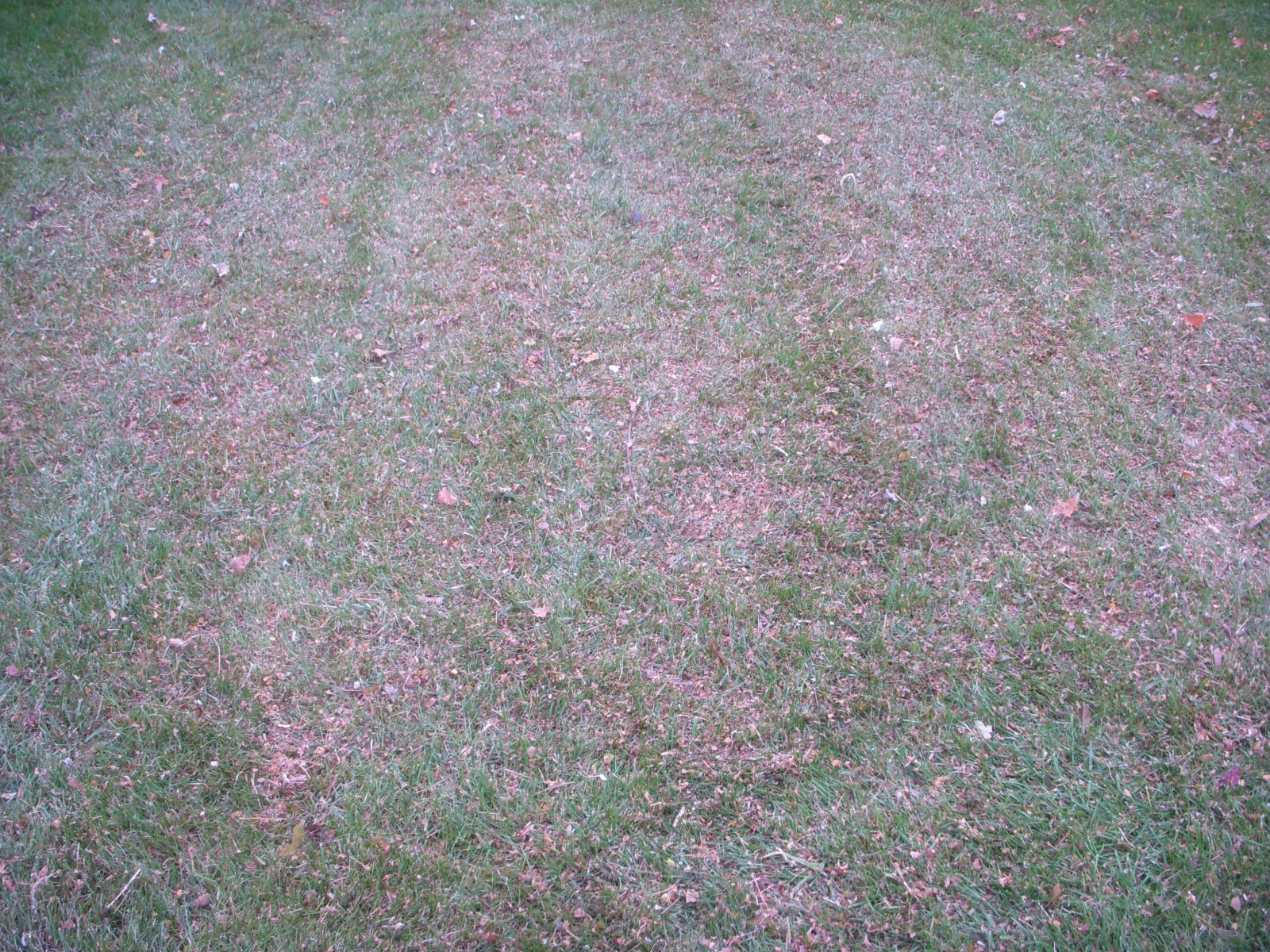 mulch shred leaves on new young grass lawn (4).JPG