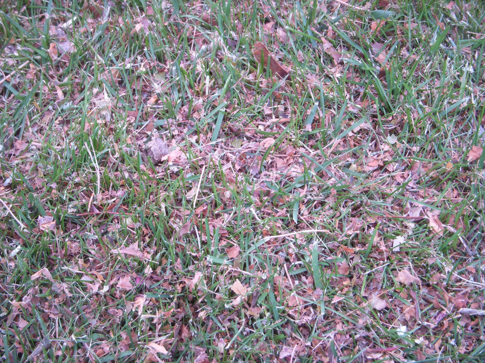 mulch shred leaves on new young grass lawn (5).JPG