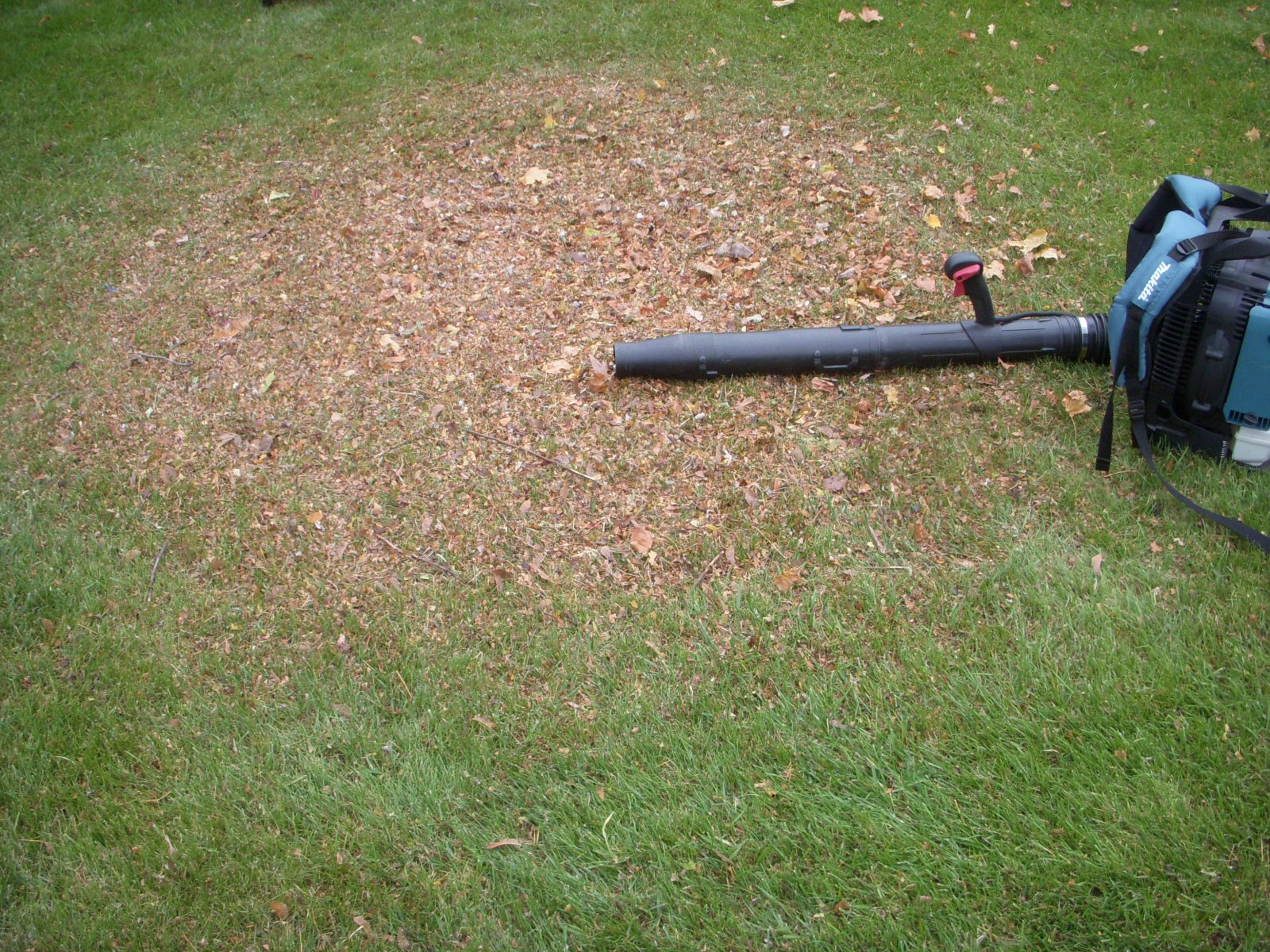 mulch shred leaves on new young grass lawn (6).JPG