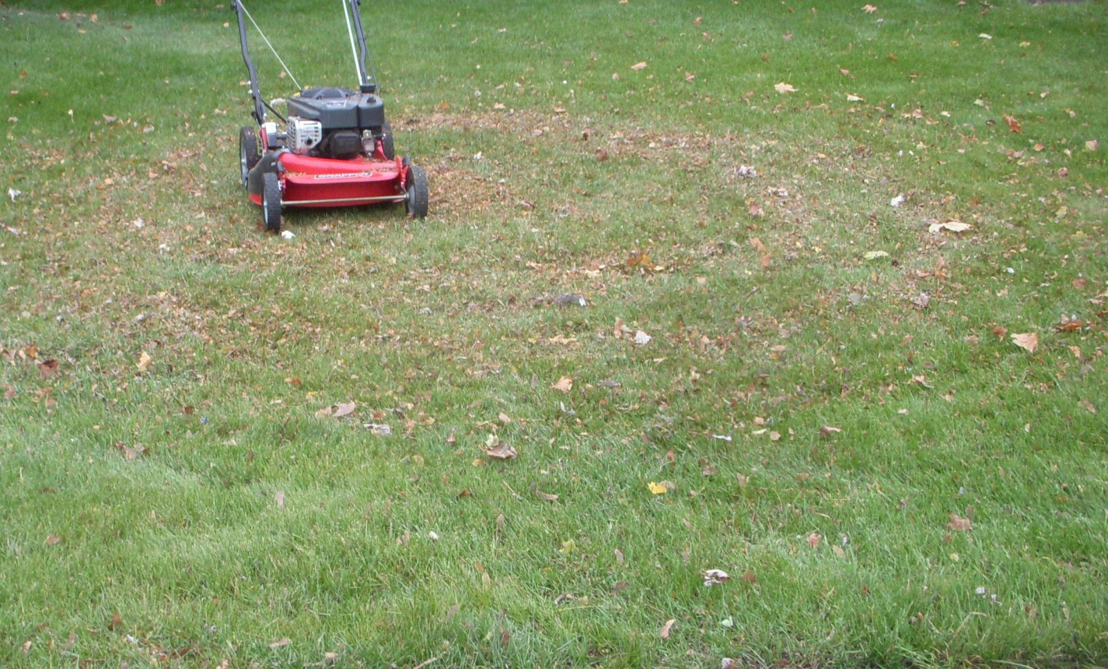 mulch shred leaves on new young grass lawn (7).JPG