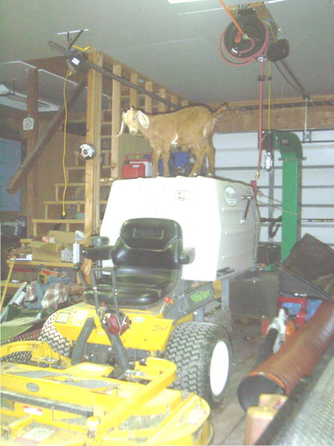 my new mowing goat.jpg