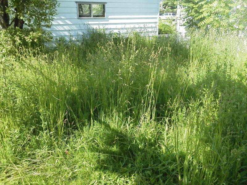 Penora Over Grown Lawn Online.jpg