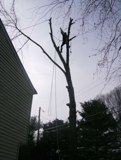 phillis o tree removal silver maple 005.jpg