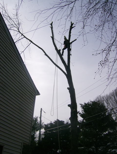phillis o tree removal silver maple 007.jpg