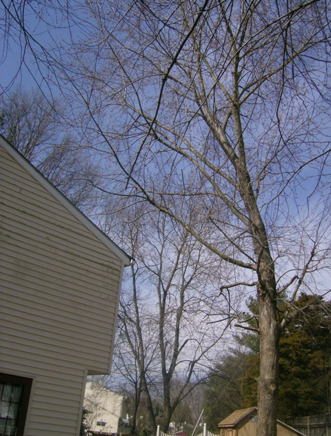 phillis o tree removal silver maple 008.jpg