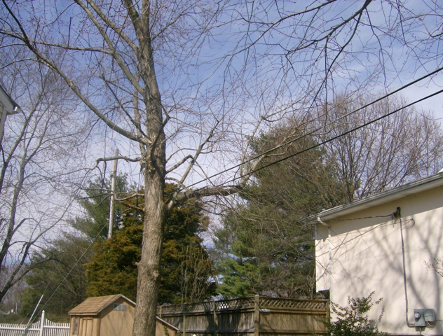 phillis o tree removal silver maple 010.jpg