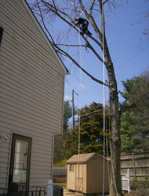 phillis o tree removal silver maple 015.jpg