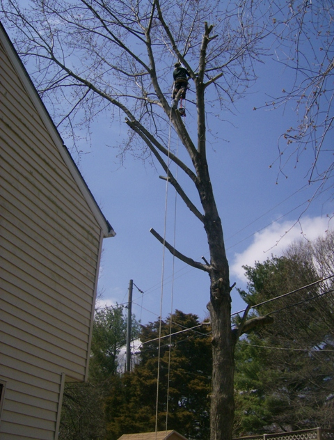 phillis o tree removal silver maple 017.jpg