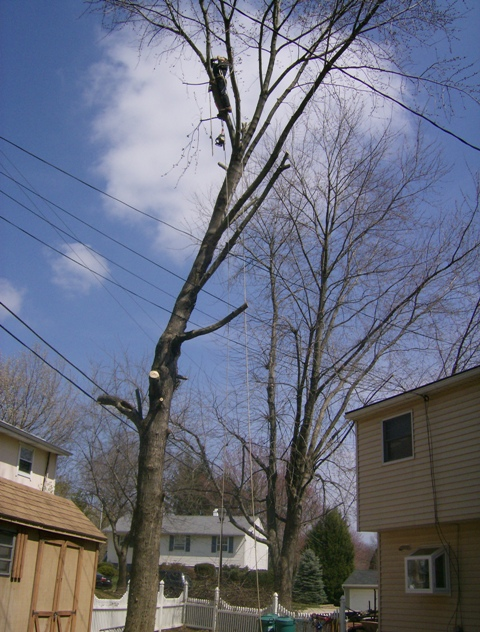 phillis o tree removal silver maple 021.jpg