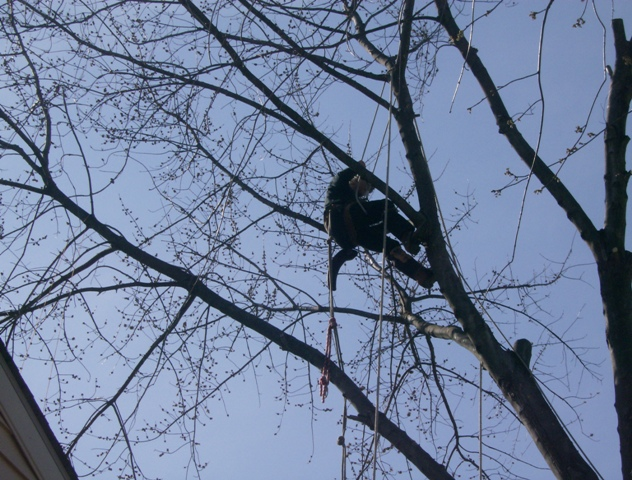 phillis o tree removal silver maple 024.jpg