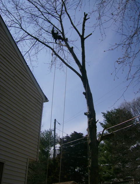 phillis o tree removal silver maple 025.jpg