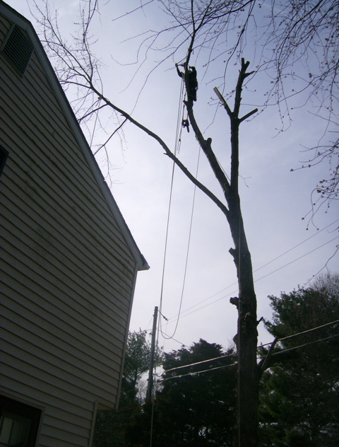 phillis o tree removal silver maple 026.jpg