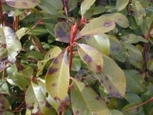 photinia disease at spring valley.jpg