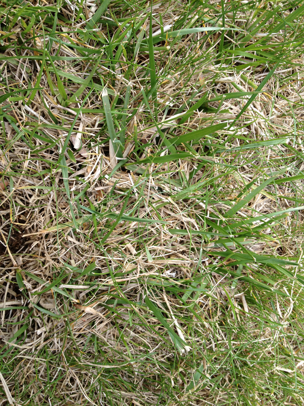 Do I Need To Dethatch Or Aerate Lawnsite