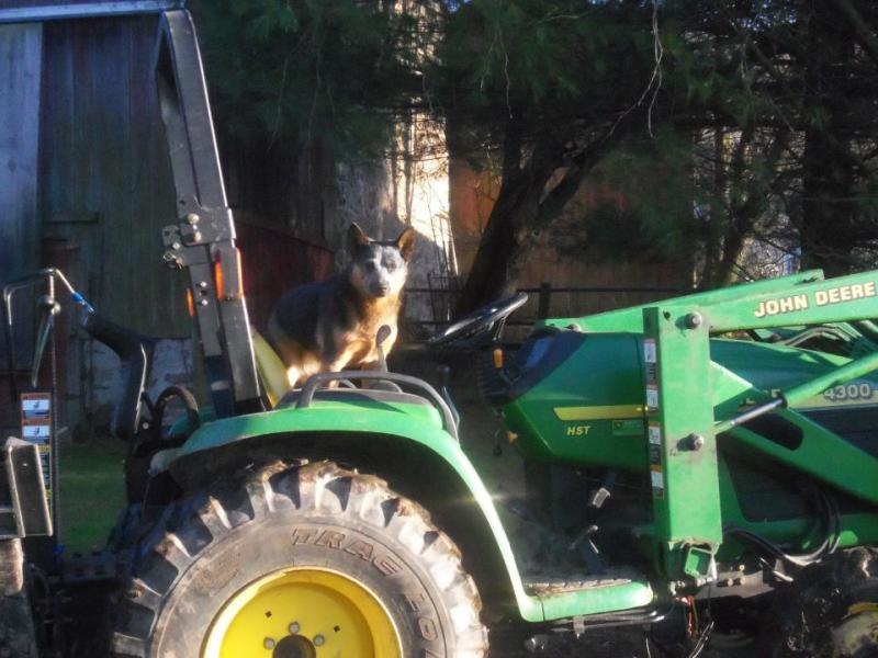 Roo and tractor.jpg