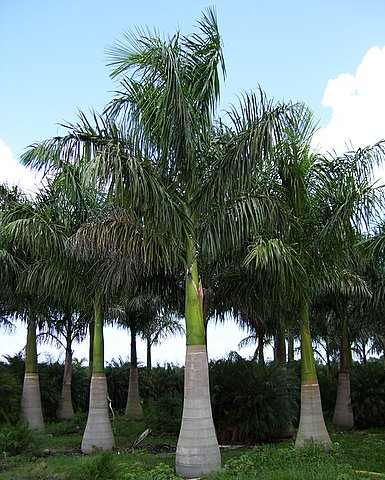 royal_palm_tree.jpg