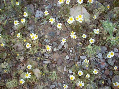 Scree-Tiny-daisy.jpg